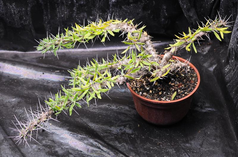 Plantes du Biotope Sud Malgache  MAJ 12-01-2012 Didierea_t_01
