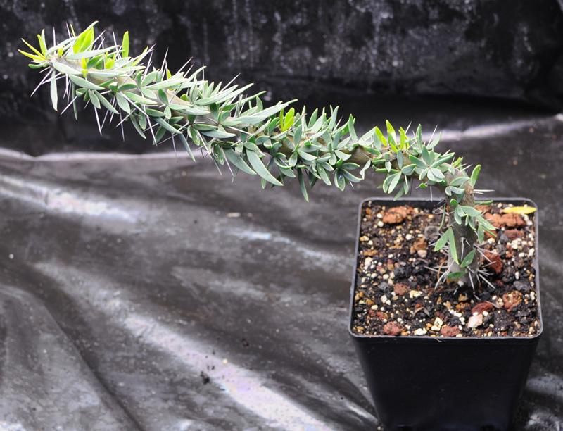 Plantes du Biotope Sud Malgache  MAJ 12-01-2012 Didierea_t_02