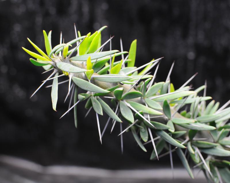 Plantes du Biotope Sud Malgache  MAJ 12-01-2012 Didierea_t_03