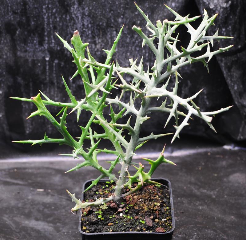 Plantes du Biotope Sud Malgache  MAJ 12-01-2012 Euphorbia_st_01