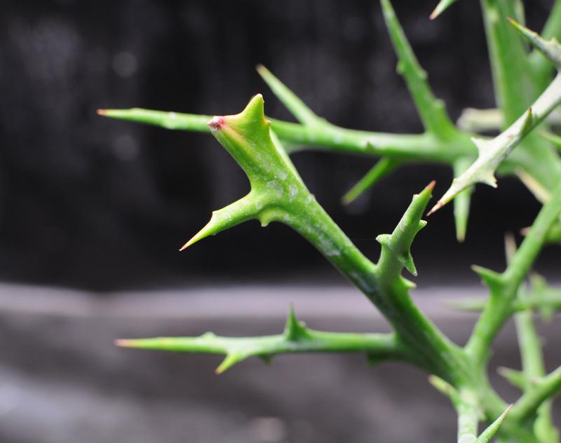 Plantes du Biotope Sud Malgache  MAJ 12-01-2012 Euphorbia_st_02