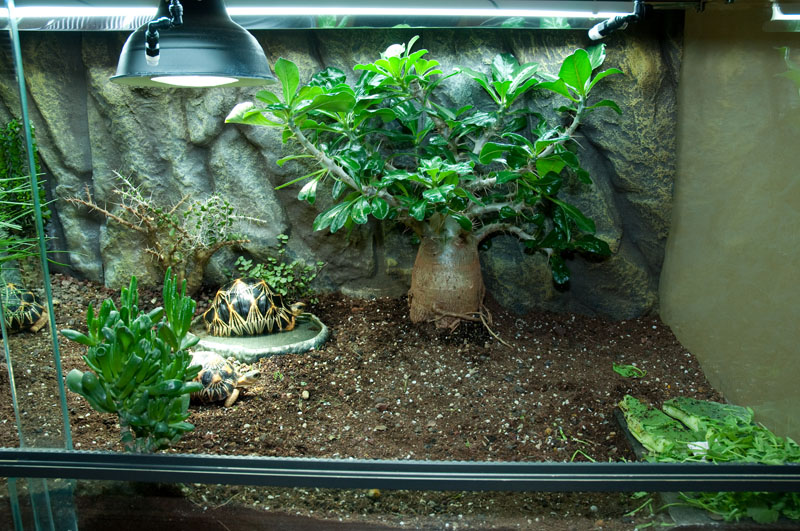 exemple terrarium astrochelys radiata v2. Black Bedroom Furniture Sets. Home Design Ideas