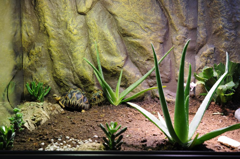 Exemple Terrarium Astrochelys Radiata 003