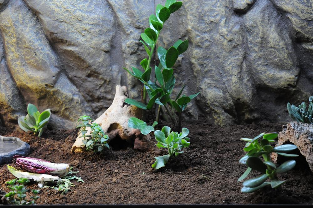 Exemple Terrarium Astrochelys Radiata 004