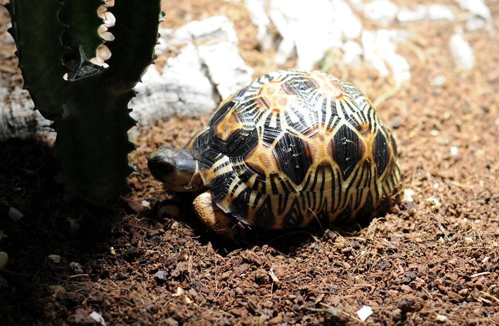Exemple Terrarium Astrochelys Radiata Terra_13