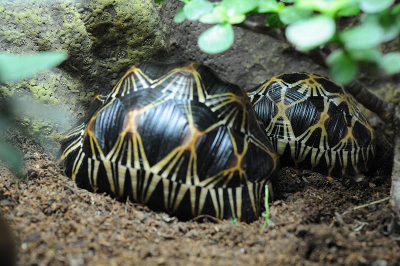 Exemple Terrarium Astrochelys Radiata Terra_14
